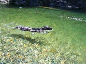 Dog in the Yuba River