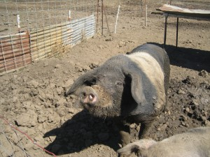 Pig at Tara Firma Farm in Petaluma