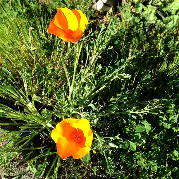 wildflowers marin golden poppy