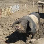 Pig at Tara Firma Farm in Petaluma