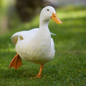 duck by Ernst Vikne